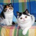 Персидские и Экзотические котята. Профессиональный питомник ''Lumikat'' предлагает экзотических плюшевых (персы с короткой шерстью) и персидских котят . Котята ярких,   эффектных окрасов ,   с голубыми или янтарными глазками. Возраст от 2-х мес.