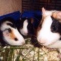 свинка Соня  и ее дети.