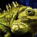 Зеленая игуана - не только красивая (если правильно ухаживать,   но и может стать верным другом. ))