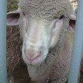 """Выставка \""""Золотая осень\"""" на ВВЦ октябрь 2009<br /> овца-фотомодель:) Сама подошла фотографироваться"""