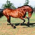 Лошадка козлит