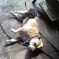 Представляем... Как говорят в народе:высокозлобная,   бойцовая собака убийца кошек.<br /> Стаффордшир Джессика.
