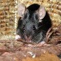 Атласная мышка Гавриша