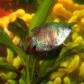 Рыба-лялиус