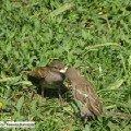 Воробьи. Мать кормит своего подросшего птенца.