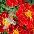 "Местный \""колибри\"" собирает нектар."