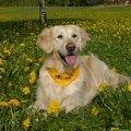 Золотая собака.<br />