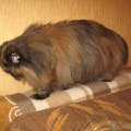 Лизавета- черепаховый перс 12 лет<br /> кошкобизон:)