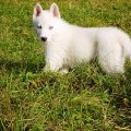 Мой  любимый щен - Того.