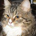 Это мамима кошка Соня,   она очень гордая и с очень сложным характером,   но все её очень сильно любят!  )