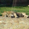 Царь зверей спит