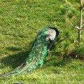 Павлины в Ижевском зоопарке