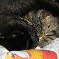 Морфей И Марсэлька.<br /> Трудно котята приживались друг к другу. Эту фотку удалось снять только спустя месяц их знакомства. Теперь они друзья,   братики!   Не представляете как я была рада снимая их так,   спящими!