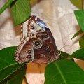 Тропическая бабочка.
