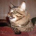 Это наш котик,   метис Мейн-куна. Нашему питомцу 1 год. Мы бы разместили много его фото,   но здесь можно разместить только одно. Пишите на мой эл.адрес и увидите его в полной красе. Если вы выберете нашего кота для вашей кошечки,   то не пожалеете!   Кот крупный,   весит 7кг. И ветелинары говорят,   что для этой породы это не предел,   поскольку они растут и матереют до 4х лет.  Немного о нем: большой,   доброжелательный,   умный,   территорию не метит,   ходит в туалет в свой лоток без наполнителя. При чем долго приучать его не пришлось. Как только принесла его домой (в два месяца) сразу приучился,   по углам никогда не гадил. Нам известна его мама. Она тоже очень умная и красивая. Мурзила у нас отличный мышелов. Это проверено летом на даче. И,   кстате,   на даче туалета в доме не ставили,   ходил в землю,   причем ночь мог терпеть,   а утром просился на улицу,   чтобы сделать свои дела и погулять. Думали,   что когда вернется с дачи забудет,   как дома правильно в туалет ходить,   но ничего подобного не произошло. Сразу все вспомнил и нашел свой лоток,   хотя пробыл на даче 4 месяца. Еще одно хорошее качество,   он очень предан своим хозяевам. Всех любит,   если кто заболел ложится на больное место и лечит. Вот такой он у нас замечательный.Все прививки у нас имеются. Кот полностью здоров. Впрочем,   смотрите наши фотки. Ждем невест!