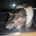 Крыса Тоша,  2 года.Наша большая компьютерная мышка.