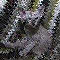 Джоди.Ориентальная порода.3,  5 месяца