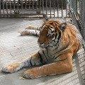 Тигрица Венера в Большереченском зоопарке