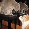 Первое знакомство прошло очень мирно. Кот Бася и щенок Умка.