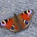 Бабочка красавица...