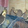 Потомство от моих попугаев