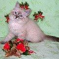 Милый невский котенок,   ласковый мини-тигренок радость и счастье в Ваш дом принесет прямо на Новый Год!