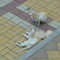Кошки в Сочи. Вальяжные,   валяющиеся где попало,   на машинах,   на тротуаре,   как кошки так и собаки(особенно в Хосте),   они сильно отличаются от бедных запуганных животных у нас в Сибири.