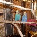 Роман (слева) и Марго (справо).<br /> Желтолицие волнистые попугайчики - родители Чикушкина.