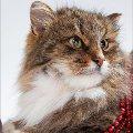 в дар роскошная пушистая сибирская кошка Жизель: умница и чистюля<br /> пол- кошка,   кличка Жизель<br /> порода - метис сибирской <br /> окрас - табби<br /> возраст 1,  5 года<br /> здоровье - здорова,   привитая,   стерилизованная<br /> мини-описание: Красивая пушистая кошка окраса табби. По характеру- спокойная и аккуратная: к лотку приучена. После смерти хозяйки,   родственники выбросили ее на улицу умирать. Замерзающую кошку подобрала сердобольная соседка и отнесла в приют <br /> 8-926-503-69-54 8-903-792-00-28 elena0777@rambler.ru <br /> http://s003.radikal.ru/i204/1002/70/15edf8a18f0e.jpg<br /> http://s005.radikal.ru/i211/1002/48/5d0cca04f1c0.jpg<br /> http://s005.radikal.ru/i210/1002/61/c4c0ff0bd027.jpg<br /> http://s006.radikal.ru/i214/1002/e3/022572d87bc0.jpg<br /> http://s005.radikal.ru/i211/1002/6c/6359b183b29c.jpg<br /> фоторабота Филантроп
