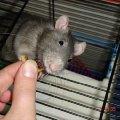 Славнее крысы зверя нет