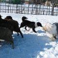 городской пастух
