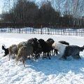 знакомство с овцами