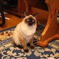 жемчужный кот