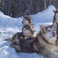 Моя упряжка ездовых собачек - трое из них Аляскинские Маламуты и Сибирский Хаски в г.Надым ЯНАО.