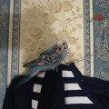 Самка 1,  5 месяца.<br /> Светло-голубая,   мордочка беленькая