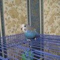 Самка синяя с беленькой мордочкой около 2 месяцев.
