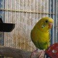 Юрец (желто-зеленый арлекин) ищем себе красивую и необычную девочку =)