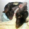 Забавная фотка моей крысы.