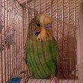 Это мой волнистый попугайчик Ромка