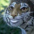 Жена тигроёжика