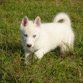 Щеночек породы Сибирский Хаски,   1,  5 месяца