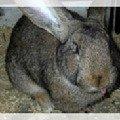 Кролики элитные мясных пород. Порода Ризен.