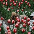 Тюльпаны,   тюльпаны поют о весне...