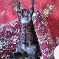 Это мы так спим после сытного обеда.Кот Самсон (Самсончик,   Сомик и т.д.),   короче - любимчик.