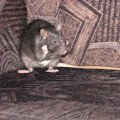 Крысонька Нора