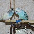 Петя нашёл свою любовь. Любовь с первого дня,   Любовь с первого взгляда,   Любовь с первого чирика...