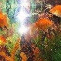 Золотые рыбки из КОСКа