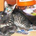 Когда Миша увидел Степу,   он не смог оторвать от него глаз. И стали они дружки навеки. Не могут друг без друга. Миша позволяет Степе все. Вот подтверждение. Напоминаю: Мише 10 месяцев,   Степе - 2 месяца. Едят из одной миски,   спят рядом. Дружки)))