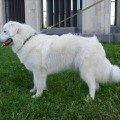 Пиренейская горная собака  1 год и 2 месяца