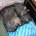Рекс.<br /> Кот,   рушащий стереотипы.<br /> Отлично выглядит в свои 11-12 лет даже при том,   что питается вискасом и отварным минтаем.<br /> Плевав на то,   что его кастрировали,   собирает вокруг себя всех кошек и активно гоняет котов.